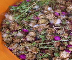 Noxiuos Weeds